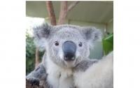 Коал из сиднейского зоопарка научили делать селфи