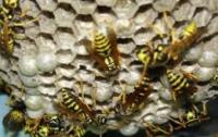 В центре Киева рой пчел держал в страхе жителей пятиэтажки