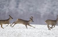 В Херсонской области браконьеры перестреляли серн