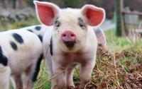 В Австрии обнаружен новый вирус свиней