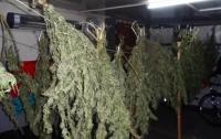 На Киевщине мужчина заготовил на зиму коноплю на 100 тысяч гривен