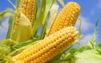 Вывоз из Украины кукурузы запретят