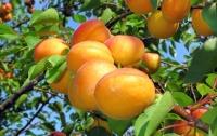 Сколько могут заработать украинцы на абрикосах