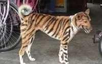 Фермер перекрасил собаку в тигра, чтобы она отпугивала обезьян