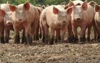 На Николаевщине голодные свиньи напали на хозяина
