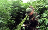 СБУ ликвидировала урожай конопли стоимостью 1 млн
