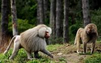 Три бабуина сбежали из исследовательского центра, подкатив бочку к забору
