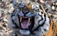 Юноша ушел в лес за дровами и стал добычей тигра