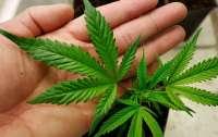 Народные депутаты готовят закон о легализации медицинской марихуаны
