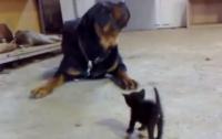 Смелый крошечный котенок стал звездой Интернета (ВИДЕО)