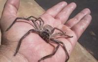 Мужчина спрятал паука-охотника во рту: шокирующее видео