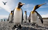 Найдены останки древнейшего гигантского пингвина