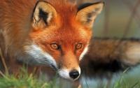 В популярном курортном городке ввели карантин из-за лисицы