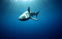 Экстремалы искупались в компании акулы в открытом океане (видео)