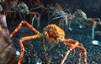Фильм ужасов на дне океана: крабы-пауки атаковали осьминога (видео)