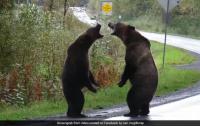 В Сети набрало популярность видео с дерущимися в Канаде медведями