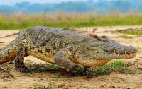 Схватка аллигатора и ягуара попала на видео