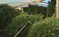 Крымчан оставили без элитной марихуаны