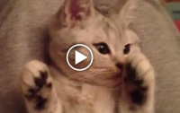 Наивный котенок, которым очень легко манипулировать (ВИДЕО)