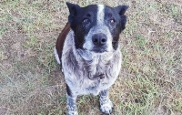17-летний пес, который помог потерявшемуся ребенку, стал почетной полицейской собакой
