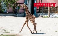 Уникального крымского жирафенка впервые показали людям (ФОТО)