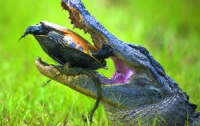 Черепаха оказалась крепким орешком в зубах аллигатора (ФОТО)