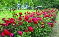 Оболонь засадят розами