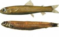 В прибрежных водах Гренландии поймали неизвестную рыбу с большими глазами