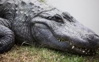 В США огромный аллигатор