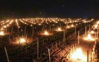 В Европе спасают виноградники кострами