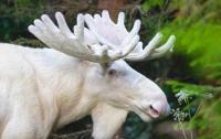 В Швеции редкостного белого лося показали на видео