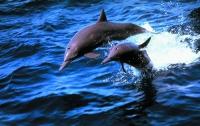 Ученым удалось увидеть спасение погибающего сородича дельфинами