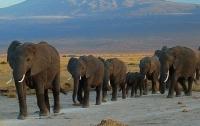 Дикие слоны остановили и ограбили грузовики с фруктами