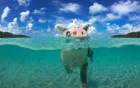 Пьяные, как поросята: туристы до смерти напоили пивом свиней