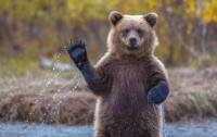 Медведь забрался в Honda, закрыл дверь и