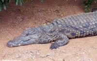 На Филиппинах гигантский крокодил страдает от стресса