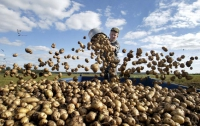 В Киеве картошку продают уже по 10 грн/кг