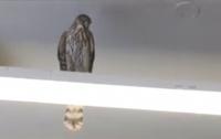 Работники супермаркета два дня ловили залетевшего внутрь сокола (видео)