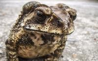 Гурман умер, съев по ошибке ядовитую жабу