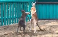 Кенгуру в зоопарке повеселили посетителей (видео)
