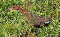 Возродился вымерший более 130 тыс. лет назад вид птиц
