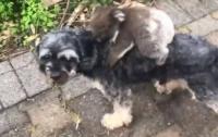 Детеныш коалы перепутал собаку с мамой (видео)