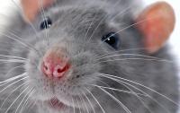 Во Франции девочку атаковали крысы, она в критическом состоянии
