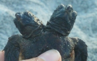Во Флориде нашли черепаху с двумя головами