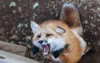 Все чаще животные стали заражаться бешенством