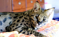 Мать спасла детей от хищной кошки