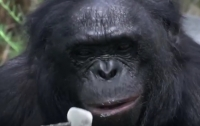 Умный шимпанзе развел костер и приготовил десерт (ВИДЕО)