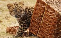 Зоопарк отдал котенка леопарда