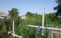 В Кременчуге кладбище засеяли коноплей (ФОТО)
