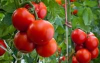 Какие вкусности могут получится из томатов (фото)
